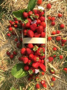 Erdbeerhof Wunderlich - Erdbeeren auch zum Selberpflücken
